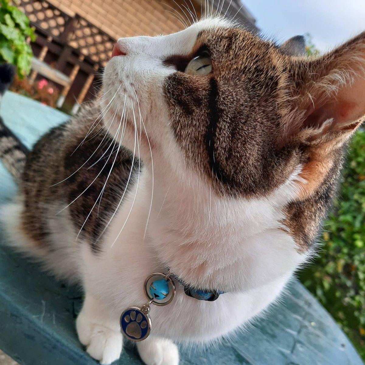 Tripawd cat Ming